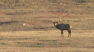 P01218 Bull Elk Bugling Stock Footage