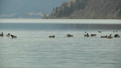 Canadian Geese swimming on Kalamalka Lake slow zoom out Stock Footage