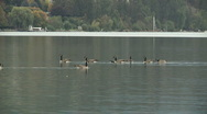 Stock Video Footage of Canadian Geese on Kalamalka Lake