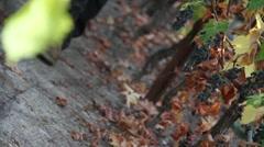 Wine Grape Harvest 16 Stock Footage