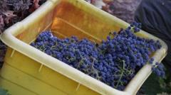 Wine Grape Harvest 11 - stock footage