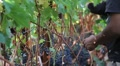 Wine Grape Harvest 9 Footage
