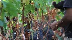 Wine Grape Harvest 9 Stock Footage