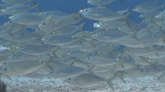 Silver fish swim past camera, medium shot Stock Footage