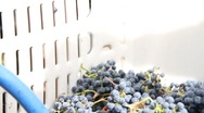 Stock Video Footage of Wine Grapes added to crusher