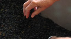 Wine Grape Destemming by hand Stock Footage