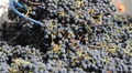 Wine Grape Harvest HD Footage