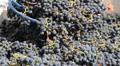Wine Grape Harvest Footage