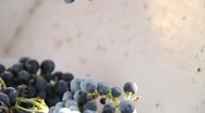Stock Video Footage of de-stemmer at Wine Grape Harvest