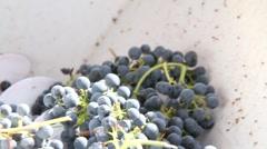 Wine Grape De-stemming Stock Footage