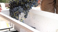 Stock Video Footage of Wine Grape Harvest De-stemming