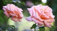 Stock Video Footage of Vineyard Roses