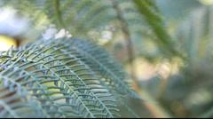 Pan to large fern frond unfurling Stock Footage