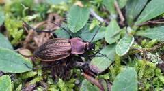Ground beetle Carabus cancellatus Stock Footage