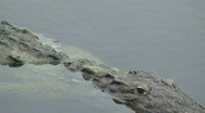 Stock Video Footage of Crocodile
