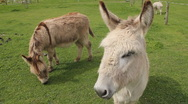 Stock Video Footage of donkeys in a farm field