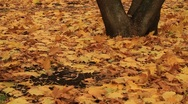 Autumn leaves falling from trees - HD 1920X1080 Stock Footage