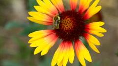 Working bumblebee. Stock Footage