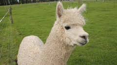 Alpaca close up head view Stock Footage