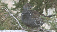 P01229 Blue Grouse in Spruce Stock Footage