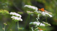 Stock Video Footage of Butterflies and bugs pollinating White Yarrow