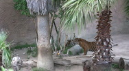 Zoo Tiger Stock Footage