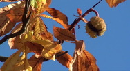 Stock Video Footage of horse chestnut