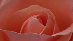 Pink rose macro Stock Footage