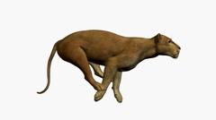 Puma Running Stock Footage