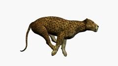 Cheetah Running Stock Footage