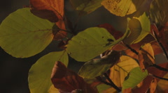 Stock Video Footage of colorful autumn leaves in gentle wind 4