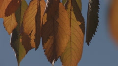 Autumn leaves in the counter-light, close-up Stock Footage
