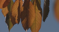 Stock Video Footage of Autumn leaves in the counter-light, close-up