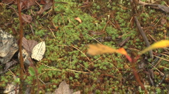 Moss, Spores, Leaves and Twigs on Autumn Forest Floor Stock Footage