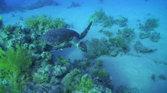 Hawksbill turtle  - High angle view Stock Footage