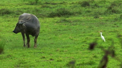 Water buffalo ox with white bird 01 Stock Footage