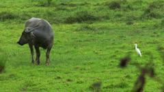 Water buffalo ox with white bird 01 Stock Footage