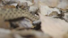 Bull Snake Stock Footage
