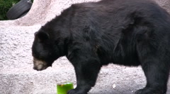 American Black Bear Eating Snack Stock Footage