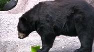 American Black Bear Eating Snack Stock Footage