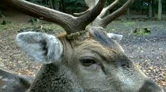 Fallow deer closeup Stock Footage