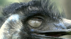Emu extreme closeup - stock footage
