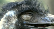 Emu extreme closeup Stock Footage