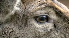 Fallow deer extreme closeup Stock Footage