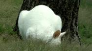 Albino kangaroo Stock Footage