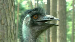 Emu close up - stock footage