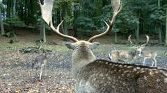 Follow deer closeup Stock Footage