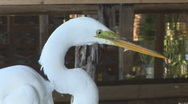 Stock Video Footage of Egret Florida