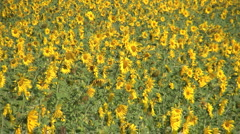 Sunflowers in the Wind - stock footage