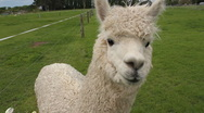 Stock Video Footage of alpaca close up head view